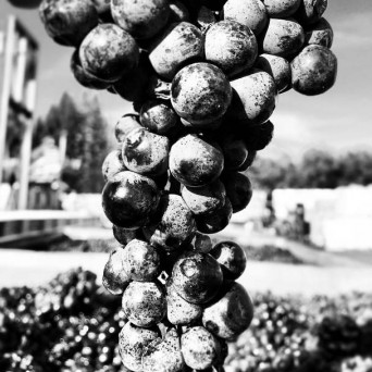 Close up black and white shot of wine grapes